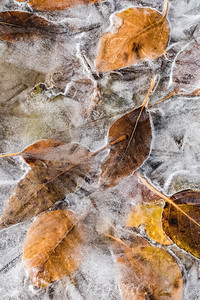 Leaves in Ice #4