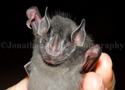 Spear-nosed bat (Phyllostomus hastatus)