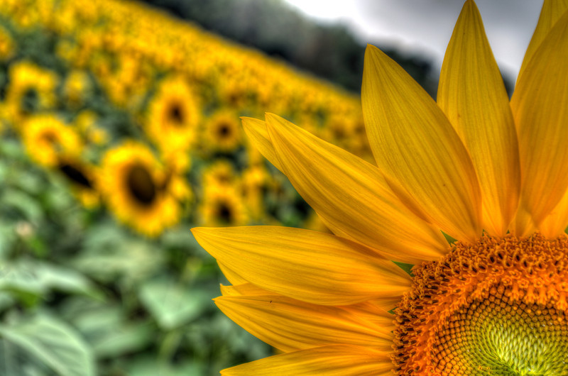 Sunflowers, Yellow Springs, Ohio 1