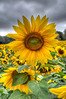 Sunflowers, Yellow Springs, Ohio 2