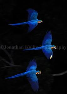 Blue and Gold Macaws (Ara ararauna) in Flight