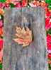 Maple Leaf on Board, October