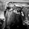 Bulls @ Cape York