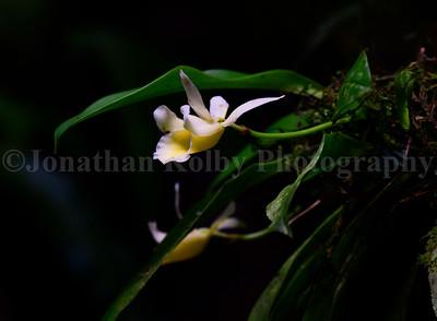 Epiphytic Orchid - Stenotyla lendyana