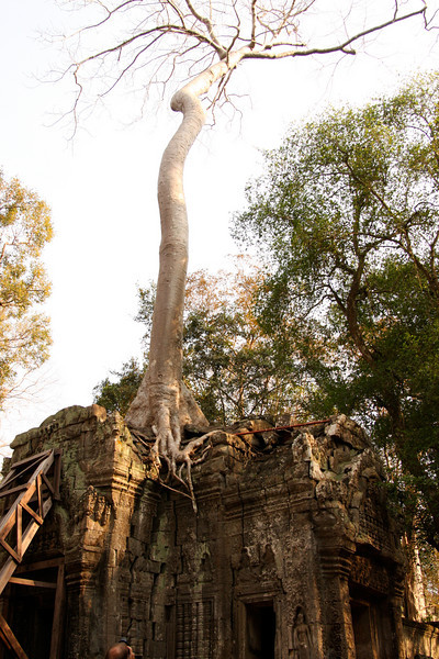 This tree apparently decided to plant itself on top of a stone building - wow! Angkor Wat complex, Cambodia.