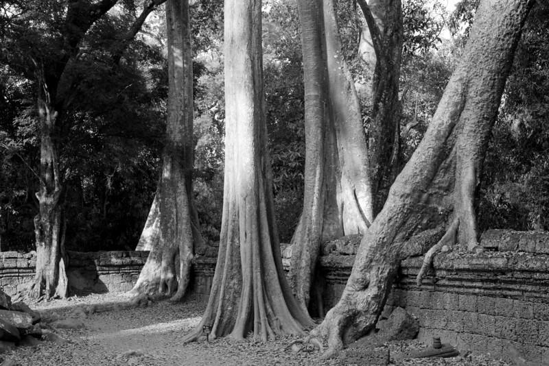 Invasion of the trees. Ta Prohm temple ruins, Cambodia