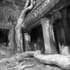 Serpentine roots slither through the Ta Prohm temple complex