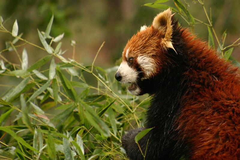 A red panda, in the panda research center near Chengdu, Sichuan