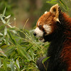 A red panda, in the panda research center near Chengdu, Sichuan