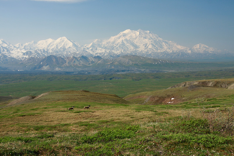 A pair of caribou in front of Mt. McKinley, Alaska