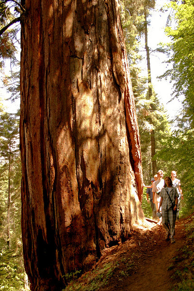 Hiking among Giant Sequoias in Mountain Home State Forest, California