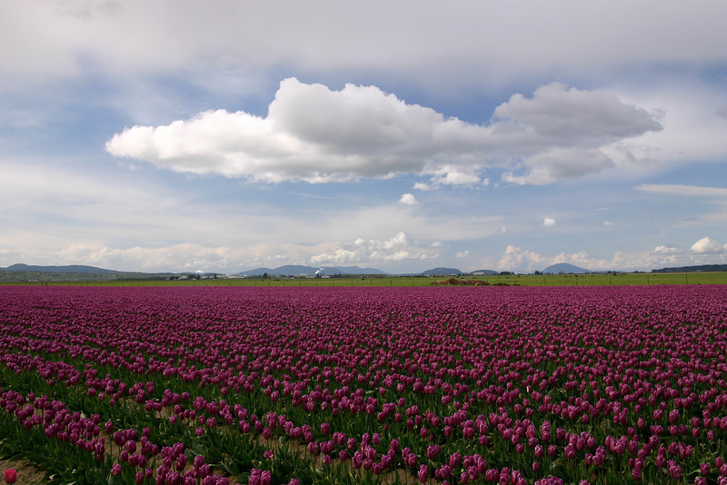 Tulips underneath a curious cloud, Washington state