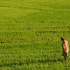 A Kashmiri woman in a field of rice