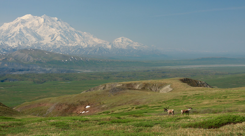 Caribou hanging out in front of Mt. McKinley