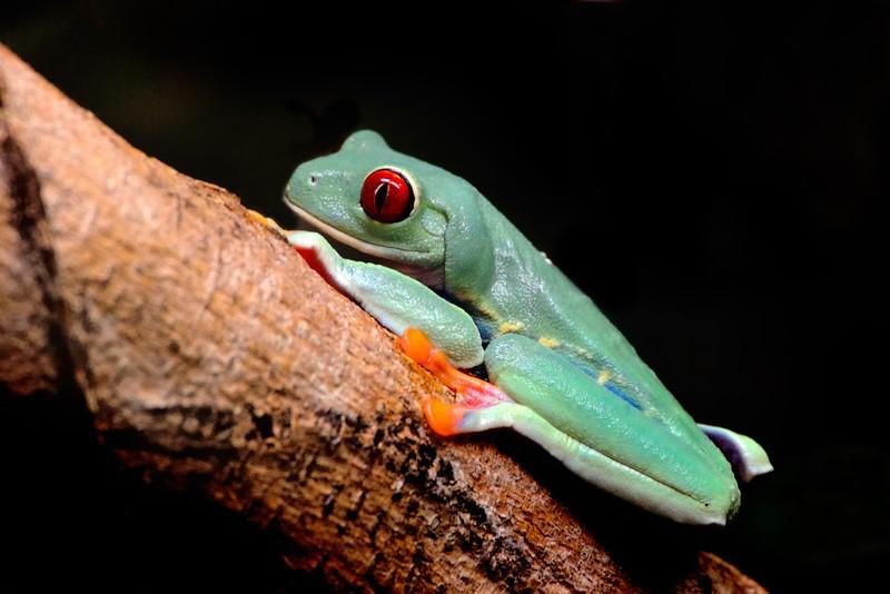 Red eyed tree frog, Miami Florida.