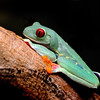 Red eyed tree frog, Miami Florida.