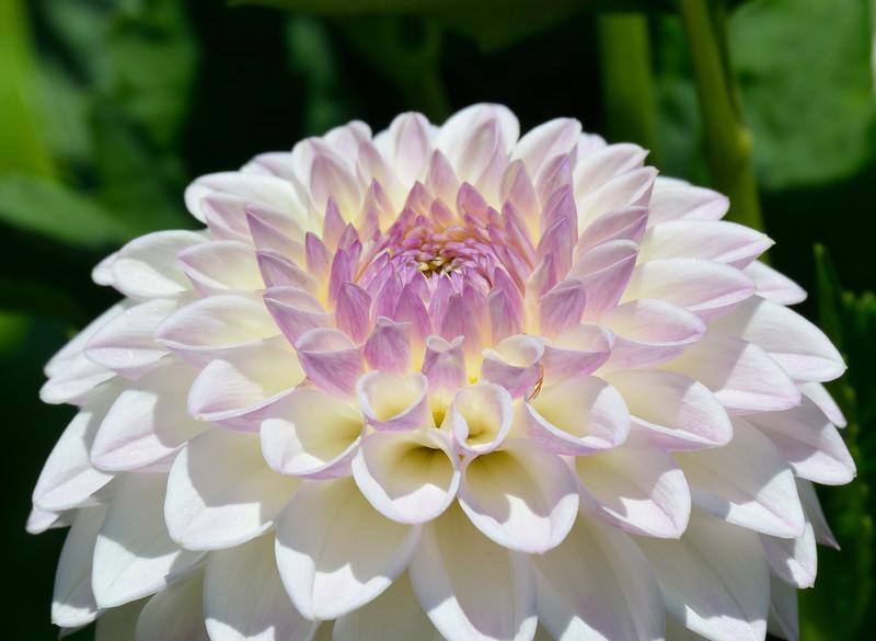 Dahlia flower. Butchart Gardens, Victoria, Canada.