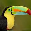 Rainbow-billed Toucan, Costa Rica, South America.