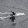 Whale, Glacier Bay, Alaska.