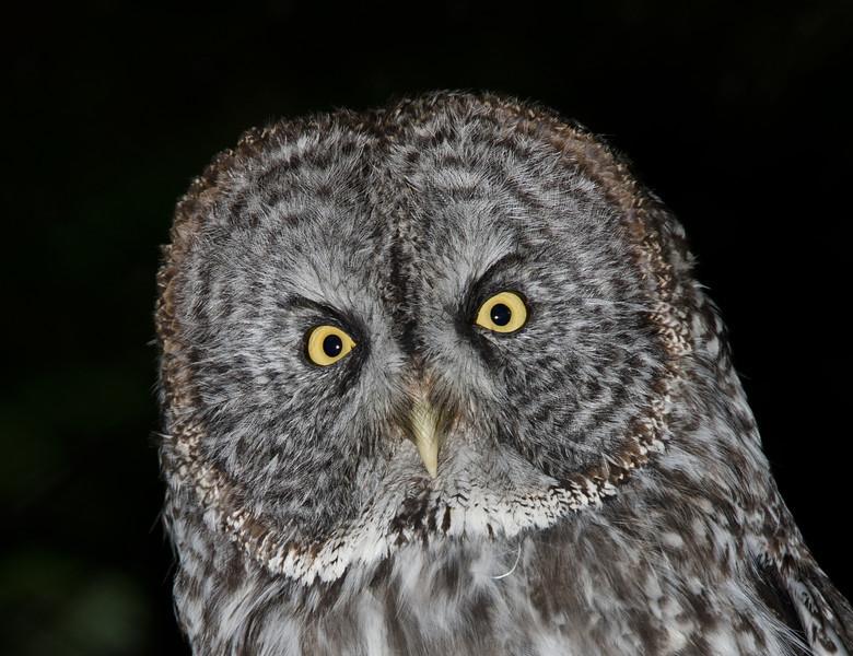 Great Gray Owl. Sitka, Alaska.
