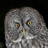 Great Gray Owl. Sitka, Alaska.