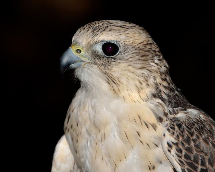 Lanner Falcon, Vancouver, Canada.