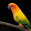 Sun Conure, Hawaii.