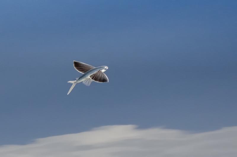 At sea. Flying fish.