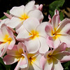Plumeria Maui Beauty, Koko Crater, Hawaii.