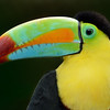 Rainbow-billed Toucan, Costa Rica, South America.