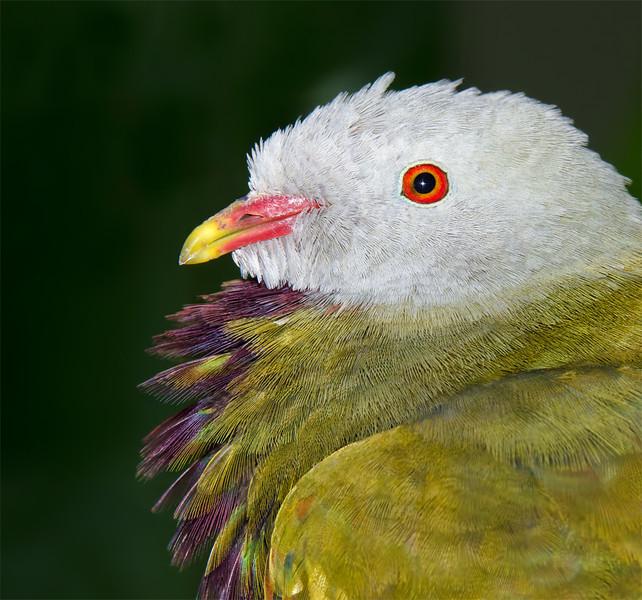 Wompoo Pigeon, Currumbin Wildlife Sanctuary, Gold Coast, Queensland.