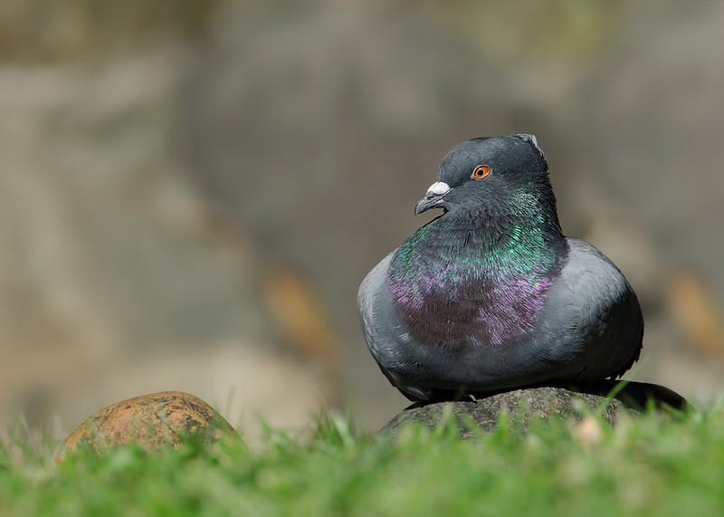 Pigeon, Macintosh Island Park, Gold Coast, Queensland.