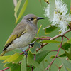 Brown Honeyeater, The Spit, Gold Coast, Queensland.