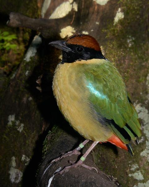 Noisy Pitta, Currumbin Wildlife Sanctuary, Gold Coast, Queensland.
