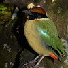 Noisy Pitta, Currumbin Wildlife Sanctuary, Gold Coast, Queensland.