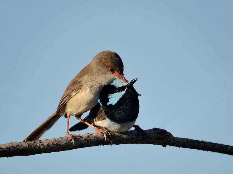 Superb Fairy-wrens, Spit, Gold Coast, Queensland.