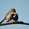Superb Fairy-wrens, Spit, Gold Coast, Queensland.