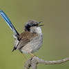 Superb Fairy-wren. Birds at Narrowneck, Surfers Paradise, Gold Coast, Queensland.