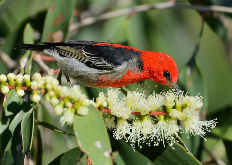 Scarlet Honeyeater, The Spit, Gold Coast, Queensland.