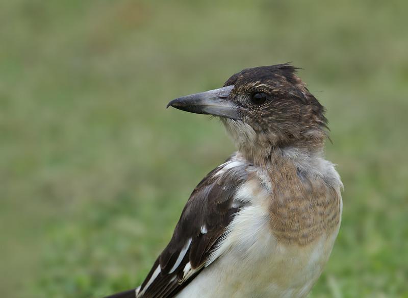 Buthcherbird, Spit, Gold Coast, Queensland.