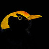 Male Regent Bowerbird, Currumbin Wildlife Sanctuary, Gold Coast, Queensland.