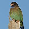 Dollarbird, Spit, Gold Coast, Queensland.