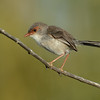 Female Superb Fairy-wren, Spit, Gold Coast, Queensland.