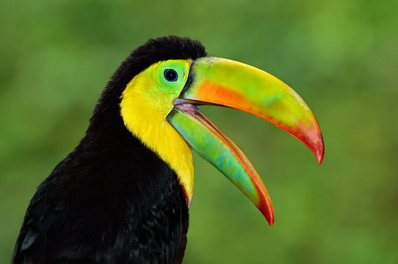 Rainbow-billed Toucan, Keel-billed Toucan, Costa Rica, South America.