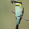 Rainbow Bee-eater, Spit, Gold Coast, Queensland.