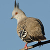Crested Pigeon, Spit, Gold Coast, Queensland.