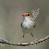 Female Superb Fairy-wren, Gold Coast, Queensland.