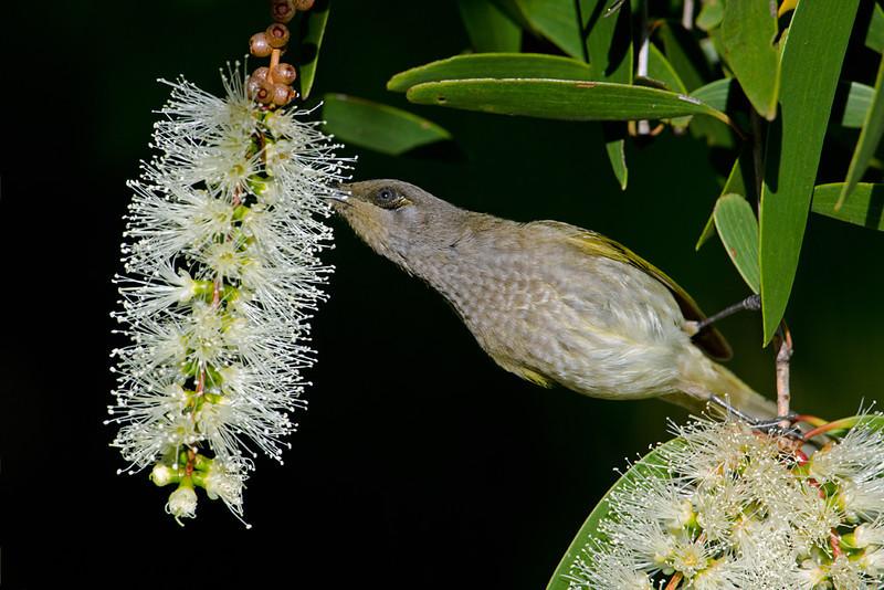 Honeyeater, Gold Coast, Queensland.