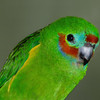 Red Browed Fig Parrot face. Currumbin Wildlife Sanctuary, Gold Coast, Queensland.
