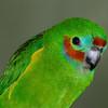 Red Browed Fig Parrot face. Currumbin Wildlife Sanctuary, Gold Coast, Queensland.